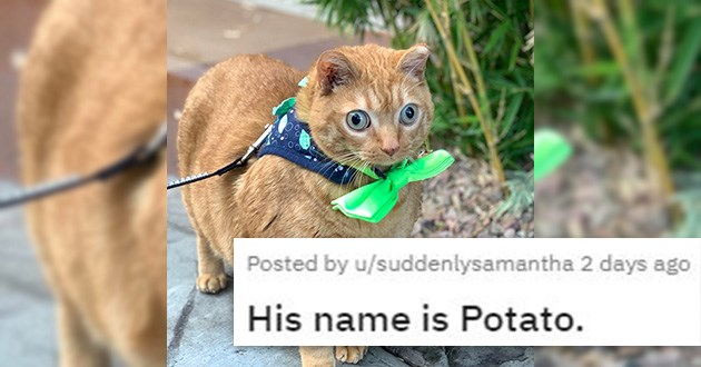cute animals cats dogs aww adorable cuteness overload | posted by suddenlysamantha His name is Potato orange cat with wide bulging eyes wearing a green bow tie and tied to a leash