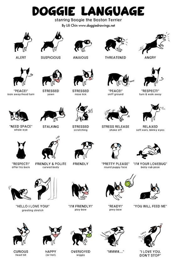 "top ten daily infographics guides | Animal - DOGGIE LANGUAGE starring Boogie Boston Terrier By Lili Chin www.doggiedrawings.net ANXIOUS ALERT SUSPICIOUS THREATENED ANGRY STRESSED ""PEACEI"" look away/head turn STRESSED ""PEACEI RESPECT turn walk avay yawn nose lick sniff ground ""NEED SPACE"" STALKING STRESSED scratching STRESS RELEASE RELAXED soft ears, blinky eyes whale eye shake off ""RESPECTI"" FRIENDLY POLITE FRIENDLY curved body ""PRETTY PLEASE LOVEBUG"" round puppy face offer his back bely rub pos"