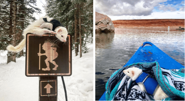 Oliver, The Adventurous Ferret, Loves To Hike And Kayak Across The Country | pic of a white ferret wearing a tiny harness jacket sitting on top of a sign warning from passing trolls in a snowy area | ferret in a blue safety jacket sitting at the tip of a blue boat sailing on water