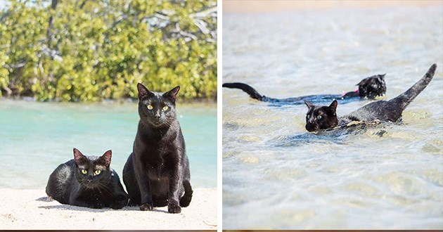 beach cats swimming instagram videos cool animals cat nathan winnie | two shiny fur black cats sitting on sand in front of a shore | two black cats swimming in the sea between waves