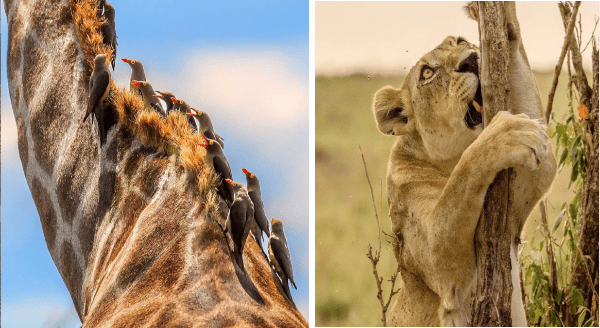 Amazing wildlife photos | close up zoom in on the neck of a giraffe and a row of birds sitting along it | funny photo of a lioness climbing a thin tree