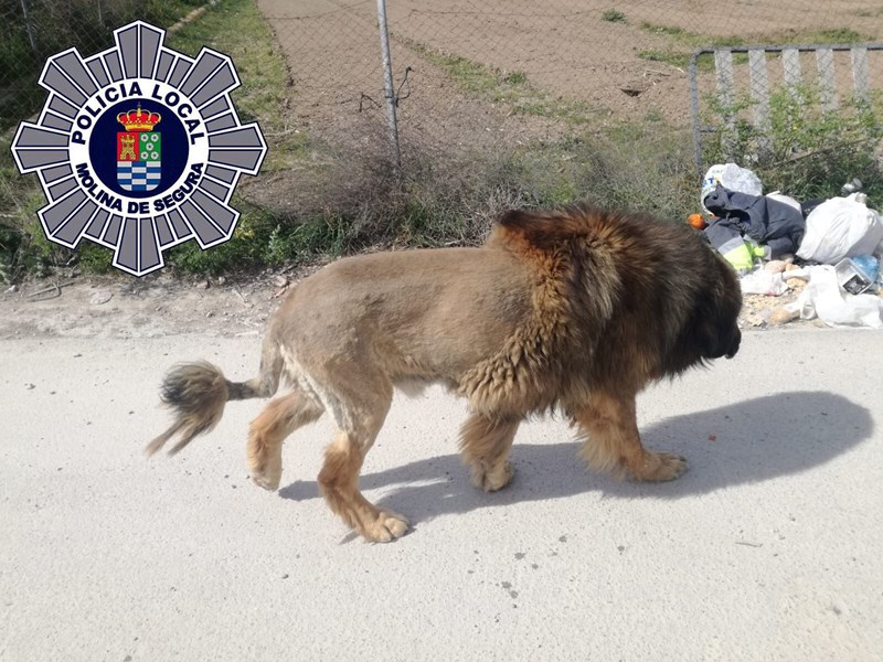 dog lion dogs weird wtf story animals | POLICIA LOCAL MOLINA DE SEGURA big furry dog shaved like a lion with a mane walking around a town in Spain