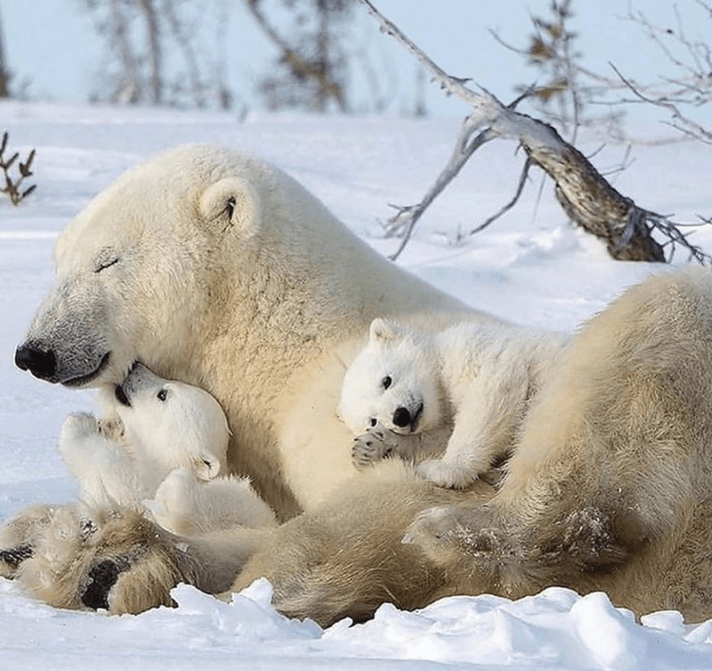 Polar bear cubs and their moms | polar bear family mama bear white fur playing in the snow with her two babies cubs wildlife nature adorable wholesome aww