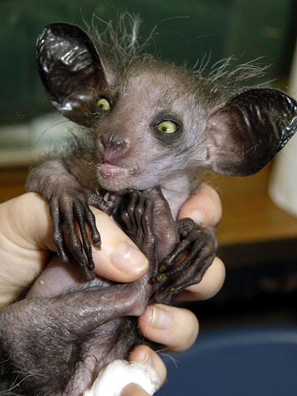animals creatures weird wtf funny lol crazy cool interesting life bizarre | weird looking aye aye lemur with sparse fur naked bulging eyes big ears long fingers