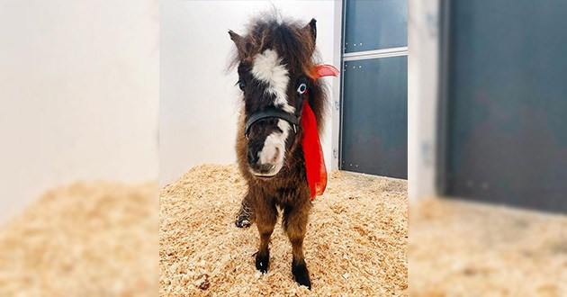 mini horse disabled wheelchair story snake bite amazing love walking trotting | cute little pony with with white marks on its face and a red scarf tied around its neck standing on hay and facing the camera