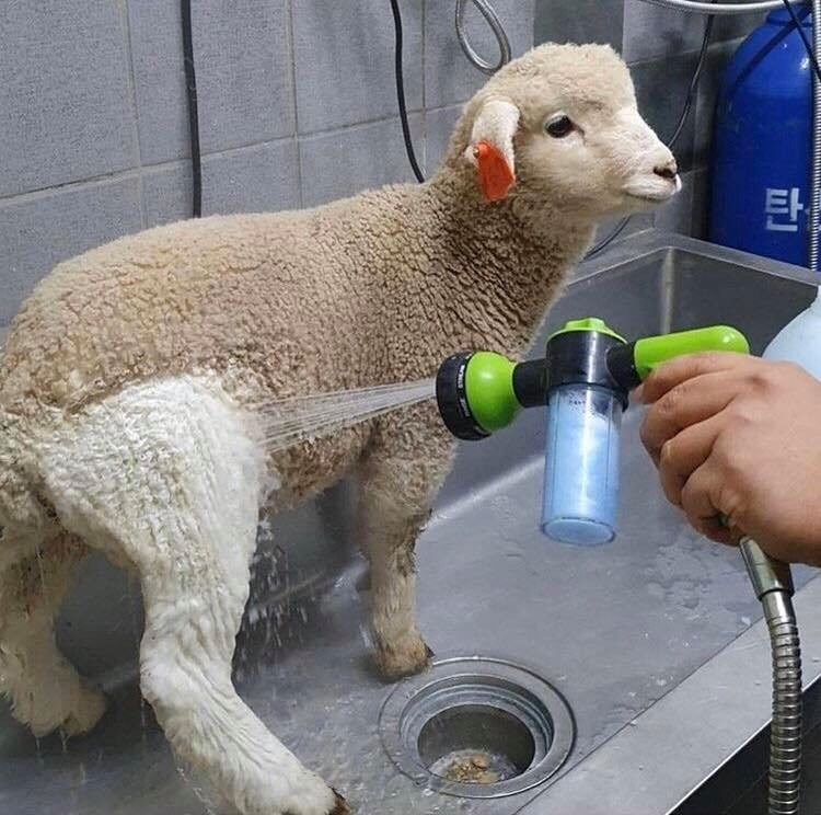 fluffy sheep lamb aww baby animals cute adorable clean | baby sheep lamb standing by a sink where it's being washed, all of its fur is brown except for the leg being clean which is white