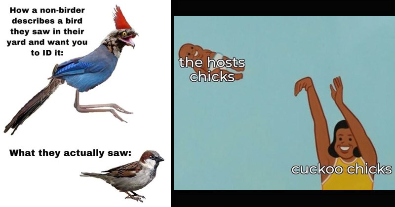Funny memes for people like to go birding, birds | non-birder describes bird they saw their yard and want ID they actually saw: sparrow | hosts chicks cuckoo chicks woman tossing a baby