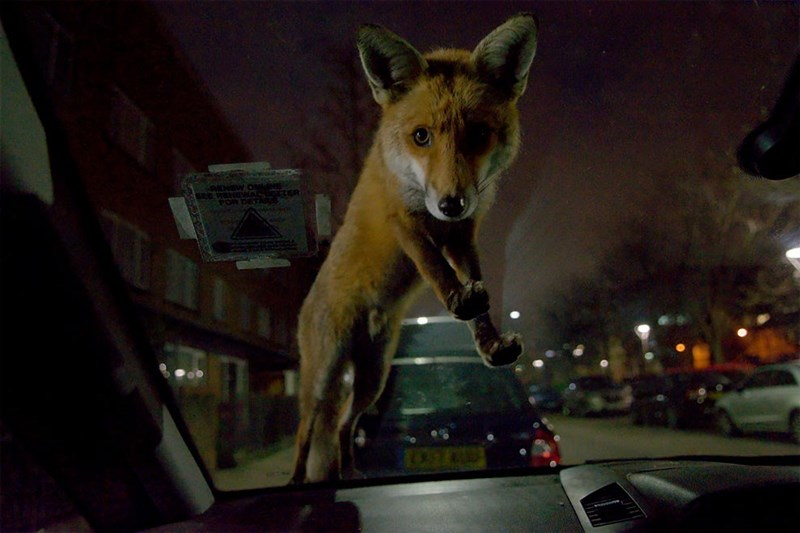 Winning photos of the Mammal Photographer Of The Year Contest | faxhall zafira roger cox photo taken from inside a car of a fox standing on the windshield and looking inside at the camera nighttime photo taken in an empty street