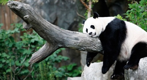 animals chill relaxing pics chilling relax rest breathe | chubby chonky panda bear lying belly down on a tree branch with its legs hanging down funny animal pic