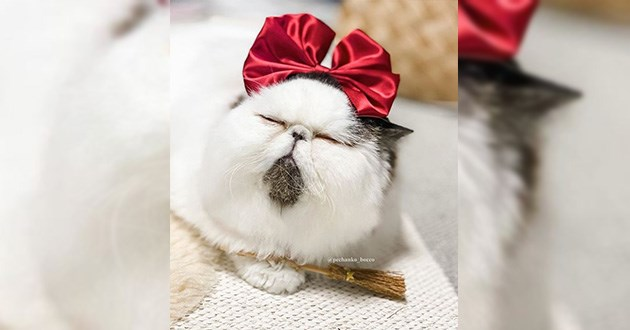 zuu sleepy funny cute delightful uplifting aww animals instagram | very cute fluffy cat chonk white fur with dark chin wearing a red bow on its head and holding a miniature broom kiki's delivery service