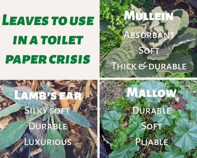 top ten daily infographics guides | LEAVES USE MULLEIN ABSORBANT TOILET SOFT PAPER CRISIS THICK DURABLE LAMB'S EAR MALLOW SILKY SOFT DURABLE DURABLE SOFT LUXURIOUS PLIABLE