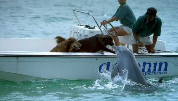 Amazing animal photos | a dolphin jumping out of the water to kiss and interact with two golden retriever dogs on a dolphin experience boat while two humans watch