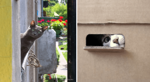 Photos of cats peeking | a grey cat looking out of a window around the side of the building | cat sticking its nose and peeking one eye out of a narrow hole in a cardboard box