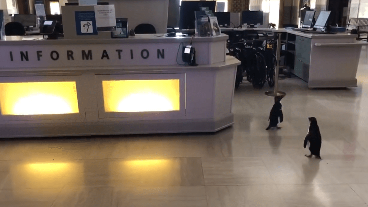 Penguins roaming freely in the aquarium | two penguins wandering by an abandoned information desk in an empty building after being released by their caregivers