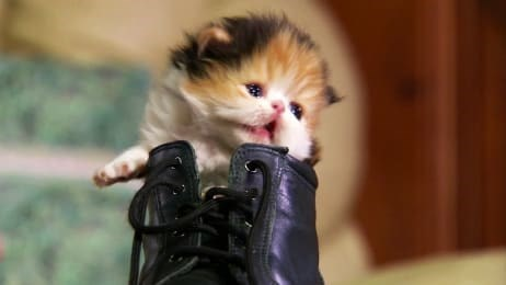 Marathon of Puppies And Kittens on Animal Planet | tiny newborn kitten baby cat orange black and white fluffy fur peeking out from inside a boot