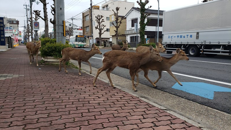Wildlife Animals Are Roaming The Streets During Coronavirus Quarantine | group of deer walking down the pavement in an empty deserted street in Japan