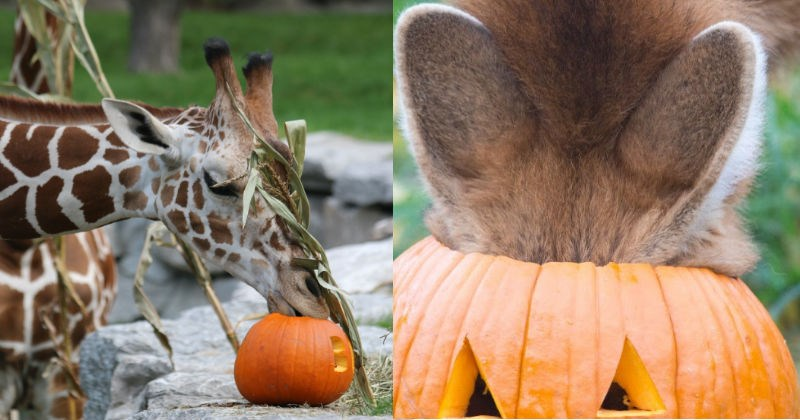 pumpkins zoo animals