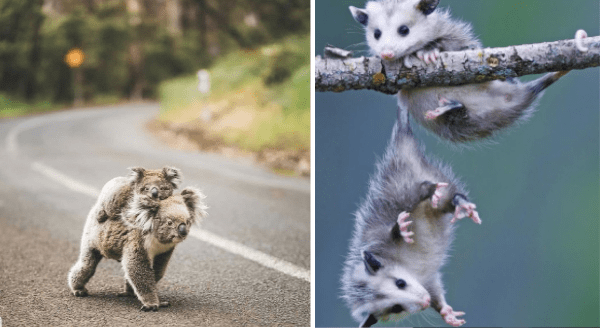 Australian animal photos | a mother koala walking on a road with a baby hanging onto her back | two tiny possums hanging with their tails from a branch with one about to fall while the other grasping at it