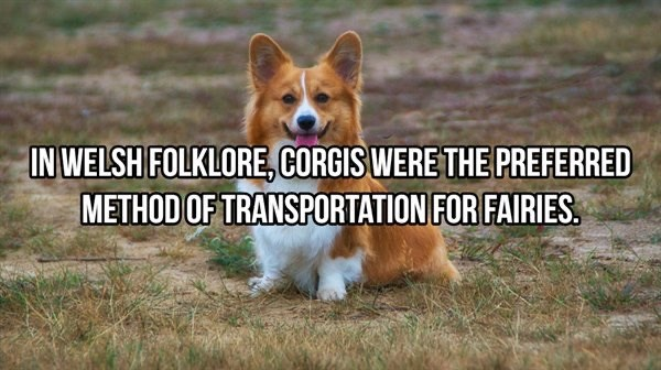 cats dogs animals facts animal cute interesting cool wow | WELSH FOLKLORE, CORGIS WERE PREFERRED METHOD TRANSPORTATION FAIRIES.