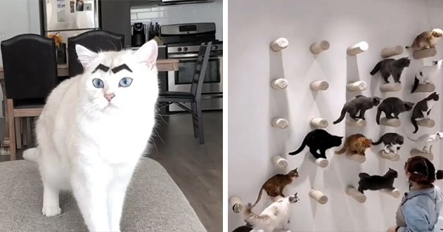 cats Instagram cute funny lol animals videos | white cat looking concerned with thick dark eyebrows glued to it forehead | a wall of different colored cats standing on a cat tree shelf perch