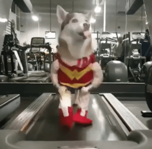 gif,wonder woman,husky,treadmill