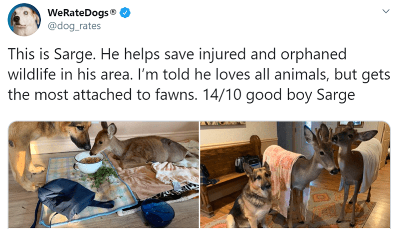 Heartwarming Stories Of Dog Friendships | WeRateDogs dog_rates This is Sarge. He helps save injured and orphaned wildlife his area told he loves all animals, but gets most attached fawns. 14/10 good boy Sarge
