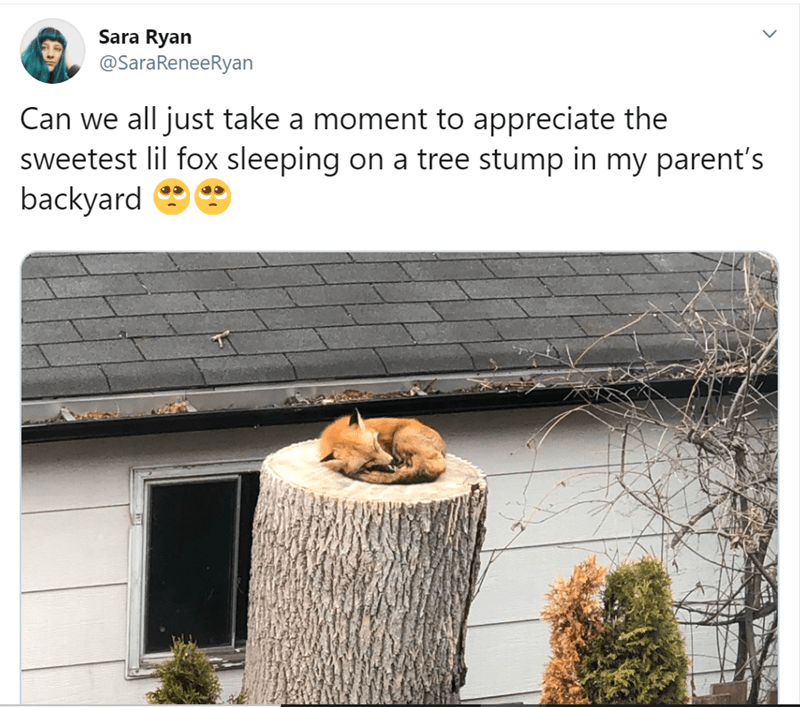 Good things that happened this week | Sara Ryan @SaraReneeRyan Can all just take moment appreciate sweetest lil fox sleeping on tree stump my parent's backyard e