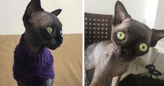 cat lucy bat instagram cats video pics Sphynx animals | black hairless cat with long pointy ears and large round green eyes staring at camera, and looking sideways while dressed in a purple sweater