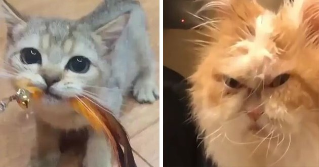 cat videos cute animals cats gifs aww funny | grey kitten with large eyes holding a feather toy in its mouth | very grumpy looking cat with long messy fur