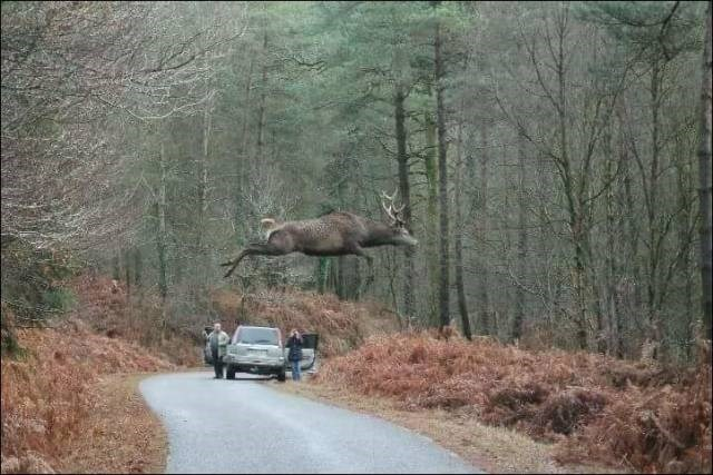 Amazing animal photos | a buck male deer jumping in an arc above a road in a forest at winter while a car is stopped at a distance and two people stand beside it and watch