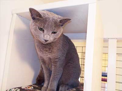 Hotel Offers Free Cat Sitting Services For Owners Hospitalized With COVID-19 | cute grey cat sitting on top of a shelf looking down