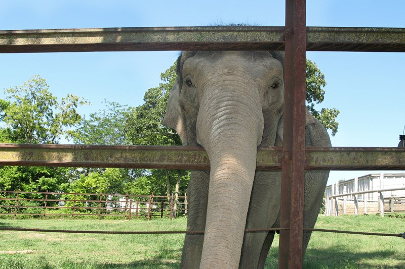 Zoos Across The Globe Offer Creative Ways To Connect With Animals From Home | cute elephant sticking its trunk through a fence surrounded a green area with trees