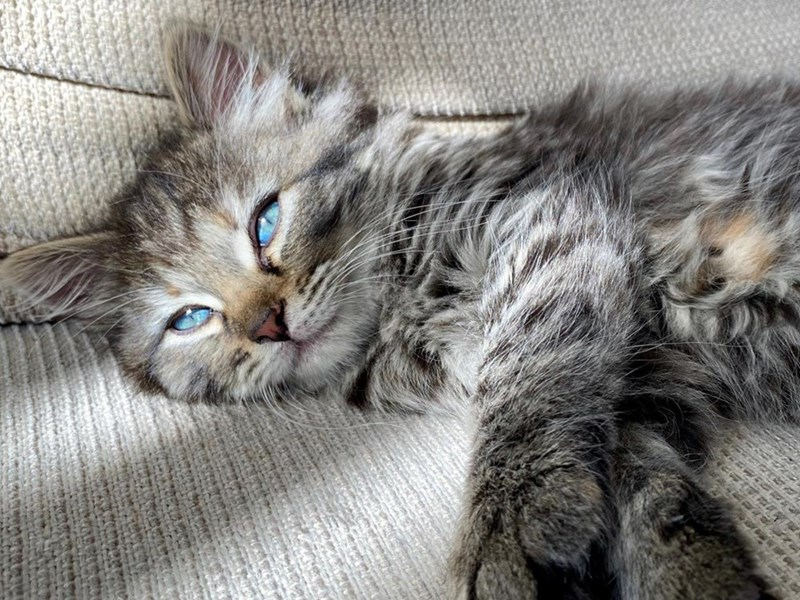 Photos Of Cats Posing Like Super Models | beautiful fluffy fuzzy grey kitten with bright blue eyes lounging on its side under rays of sunlight