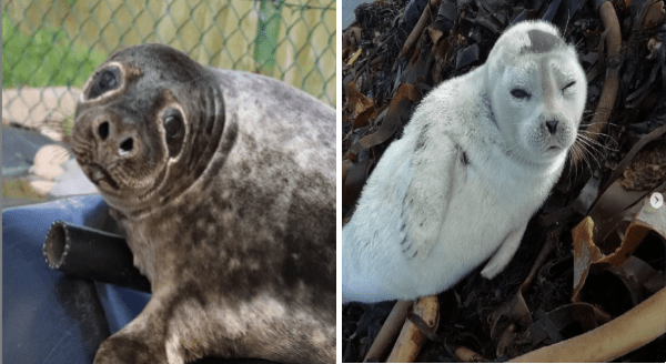 photos of cute seals | cute baby seal looking at the viewer with its head tilted to the side | fuzzy white seal squinting one eye open at the camera