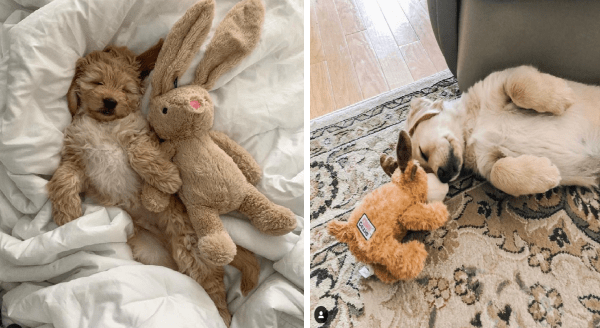 Dogs with their stuffed animals | adorable hairy puppy sleeping on a white blanket with a bunny plushie | cute puppy sleeping on a carpet touching foreheads with a soft dog toy