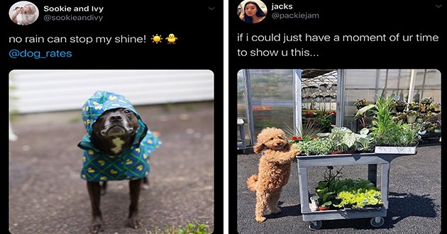 wholesome doggo dogs funny cute lol aww animals uplifting positive | Sookie and Ivy @sookieandivy no rain can stop my shine dog_rates cute dog pit bull wearing a blue raincoat | jacks @packiejam if could just have moment ur time show u this poodle in front of a greenhouse pushing a cart filled with plants
