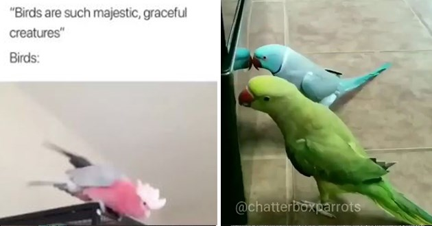 "birb bird videos funny lol aww cute | ""Birds are such majestic, graceful creatures"" Birds: 