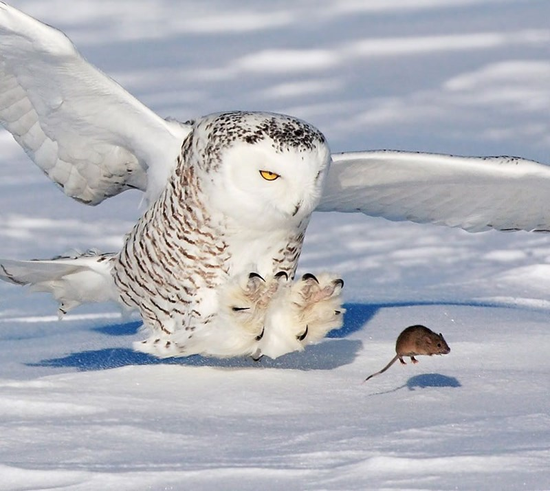 bored snowy owl animals funny lol boredom | large white owl flying close to the ground with its talons stretched forward chasing a small mouse running through snow