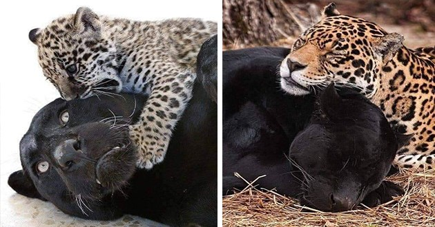 jaguars beautiful panthers wildcats love animals cats aww cute mom baby | small baby leopard cub playing attacking a surprised looking black jaguar | leopard and jaguar sleeping together peacefully