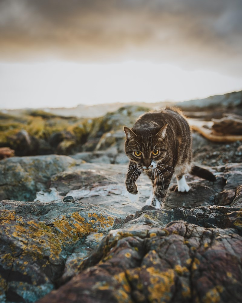 cats photography photoshoot art beautiful cat awesome | photo of a striped cat with white feet and striking yellow eyes walking over moss covered rocks