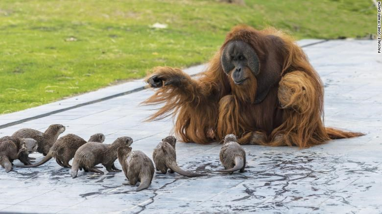 orangutans otters friendship playing beautiful adorable cute aww animals | wholesome photo of a long haired orange orangutan ape sitting on a concrete floor and playing with a group of otters