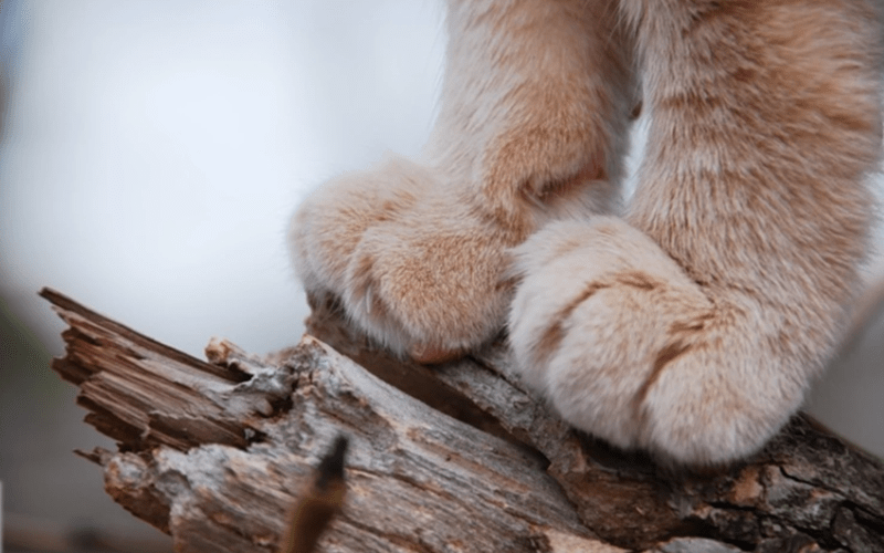 fun facts about toe beans | close up zoom in photo of a cat's cute furry paws standing on top of a wood branch