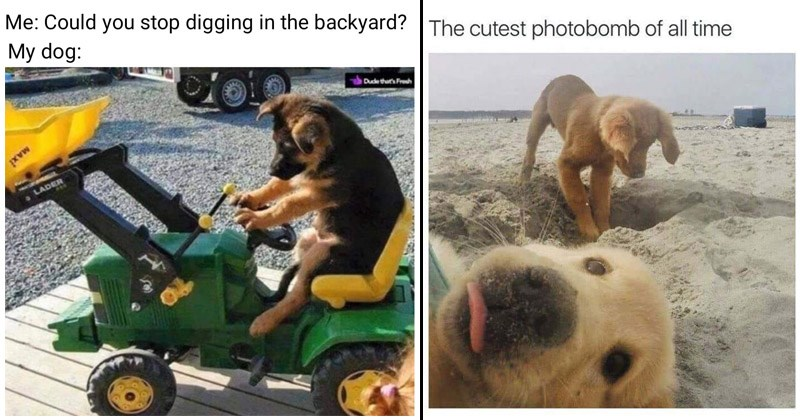 Funny and cute dog memes | Could stop digging backyard? My dog: dog driving an excavator | cutest photobomb all time puppies at the beach