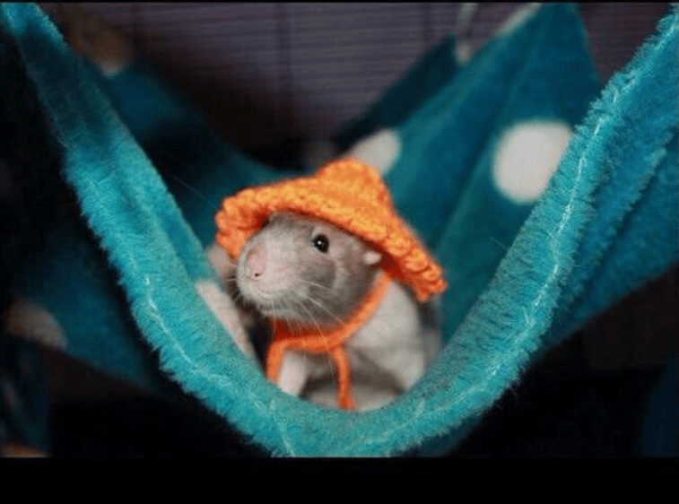 Photos of rats in Hammocks | cute little grey ray wearing an orange knitted hat tied around its neck looking out from a hammock made from a soft blue blanket