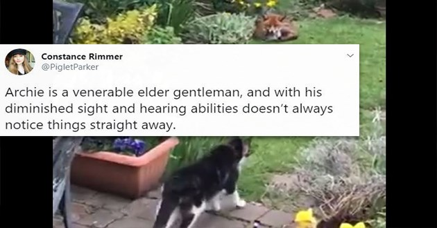 cat fox senior tweets cute funny lol aww adorable | Constance Rimmer @PigletParker Archie is a venerable elder gentleman, and with his diminished sight and hearing abilities doesn't always notice things straight away. grey cat with white underbelly walking in a green yard