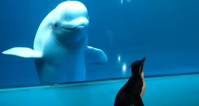penguins beluga whales cute animals tweets aquarium | crested penguin walking by an aquarium where a white beluga whale with a large forehead watches it through the glass