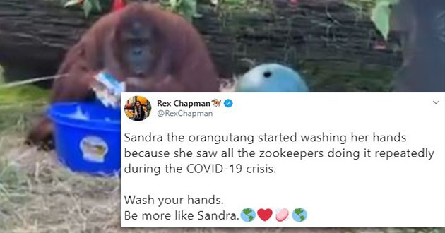 sandra wash hands orangutan animals tweets apes twitter video | Rex Chapman🏇🏼 @RexChapman Sandra the orangutang started washing her hands because she saw all the zookeepers doing it repeatedly during the COVID-19 crisis. Wash your hands. Be more like Sandra.