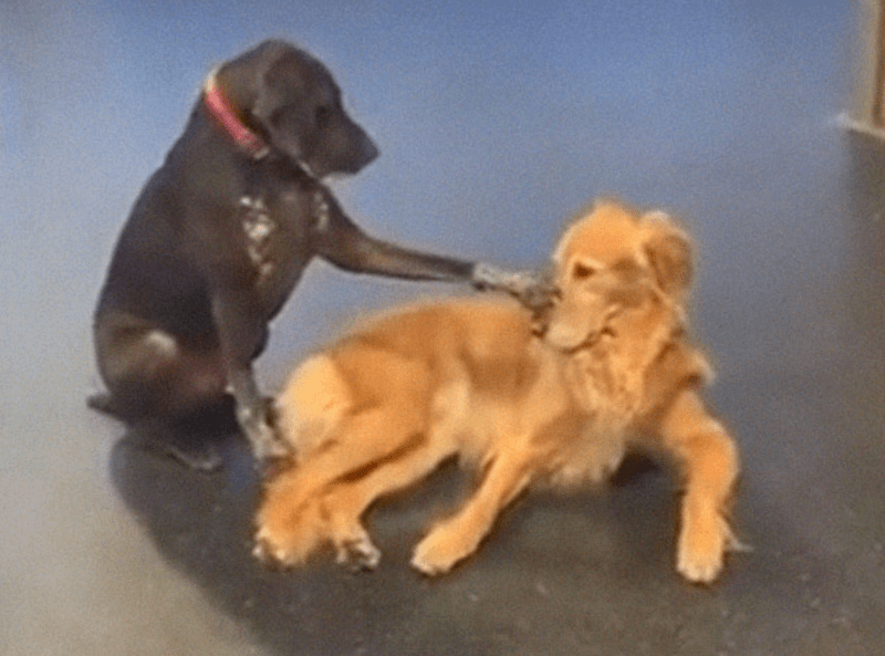 Ruby, a Friendly Dog Who Likes To Pet Other Dogs in Daycare | cute black dog with a red collar sitting on its hind legs and lifting up a paw to pet a reclining golden retriever
