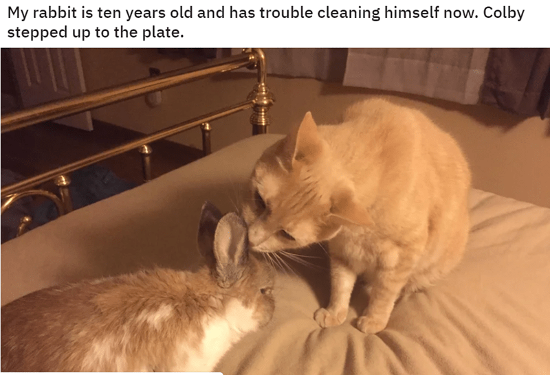 cute cats being nice | My rabbit is ten years old and has trouble cleaning himself now. Colby stepped up plate. cat grooming a rabbit on a bed licking its ears