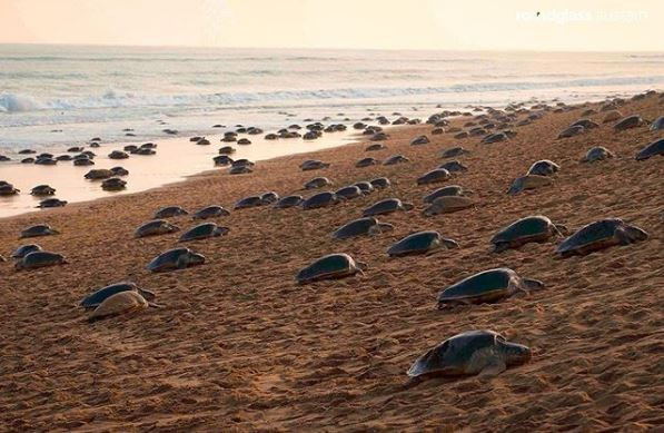 sea turtles eggs uplifting wholesome india animals tortoises | sandy sea shore beach with multiple turtles nesting along it